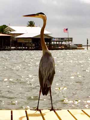 heron on a dock